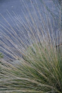 The fine symmetry of Pine Muhly Grass (Muhlenbergia dubia). Photo: Sean Hogan