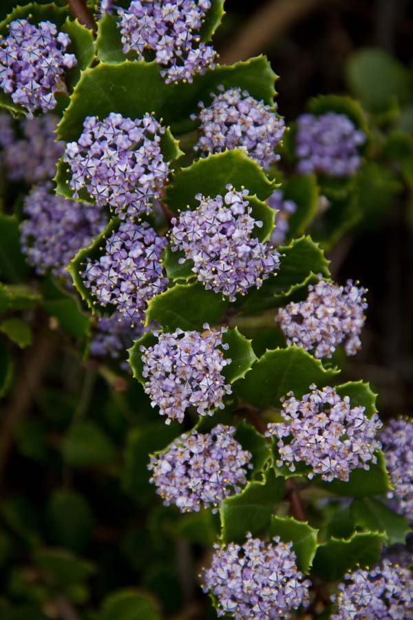 Ceanothus gloriosus. Photo: Sean Hogan
