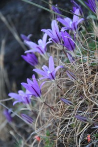 Brodiaea terestris. Photo: Sean Hogan