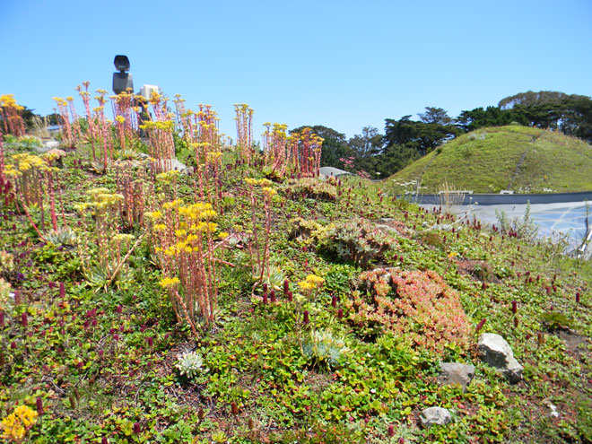 Dudleya plants flourish on the well-drained steep slope of the domes on the roof of the California Academy of Sciences. Photo: Kendra Hauser