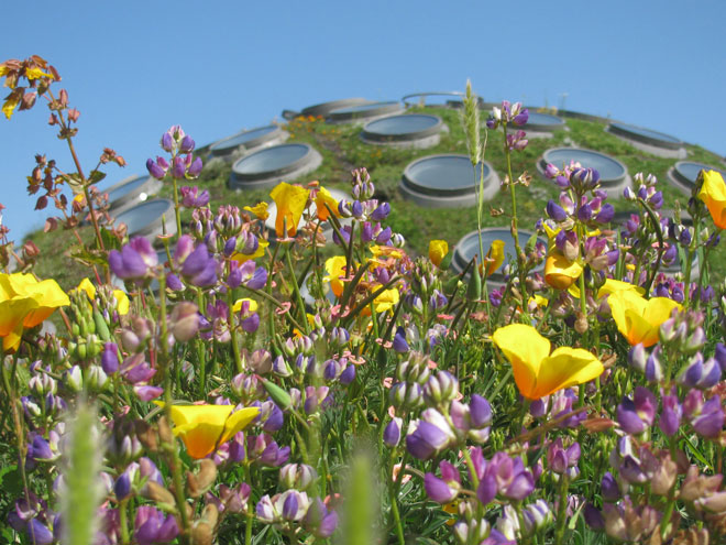 Springtime on the roof with Eschscholzia californica and Lupinus versicolor in bloom. Photo: Alan Good