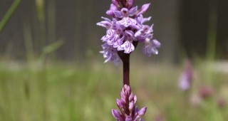 Common Spotted-orchid (Dactylorhiza fuchsii) Photo: Rafael Schneider