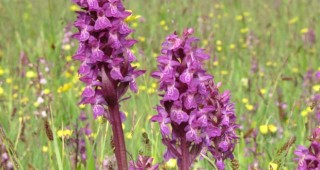 Early Marsh Orchid (Dactylorhiza incarnata) Photo: Rafael Schneider