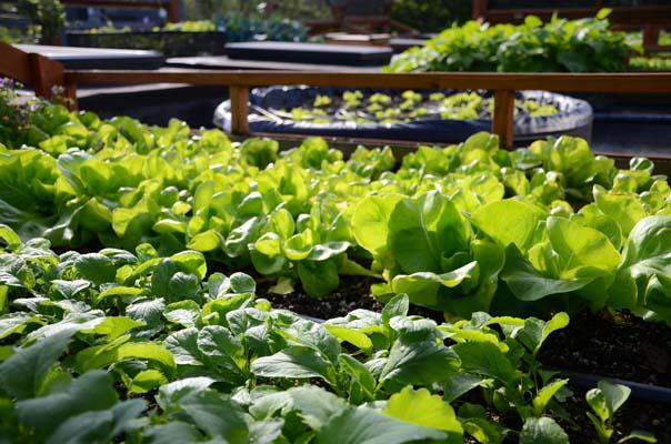 Bountiful salad crops flourish on the Bastile rooftop. Photo: Hilary Dahl