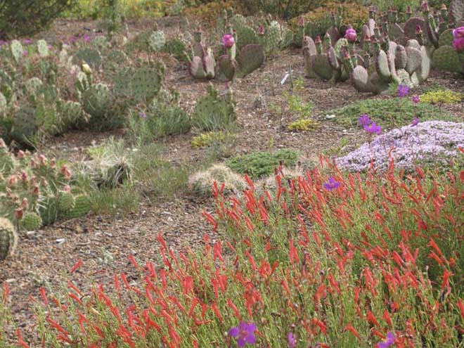 Penstemon pinifolius  Denver Botanic Gardens (DBG)Green Roof. Photo: Lisa Lee Benjamin