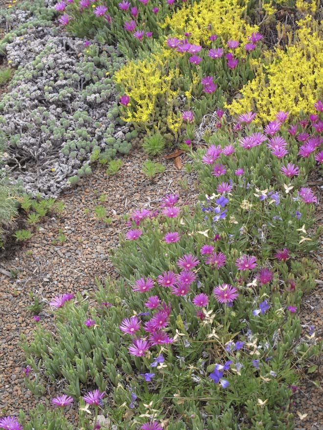 Delosperma cooperi and Sedum lanceolatum on the green roof at Denver Botanic Garden. Photo: Lisa Lee Benjamin