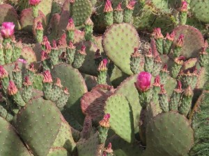 Opuntia basilaris growing on the Denver Botanic Garden green roof. Photo: Lisa Lee Benjamin