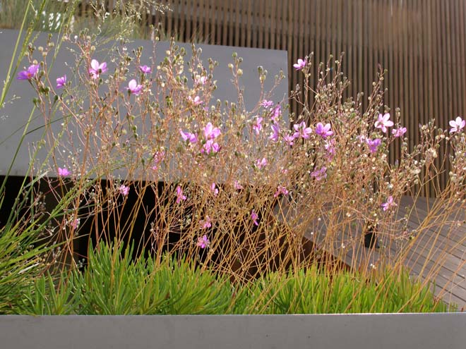 Rock Pink (Talinum calincyum) blooming on the Museum of Contemporary Art in Denver. Photo: Lisa Lee Benjamin