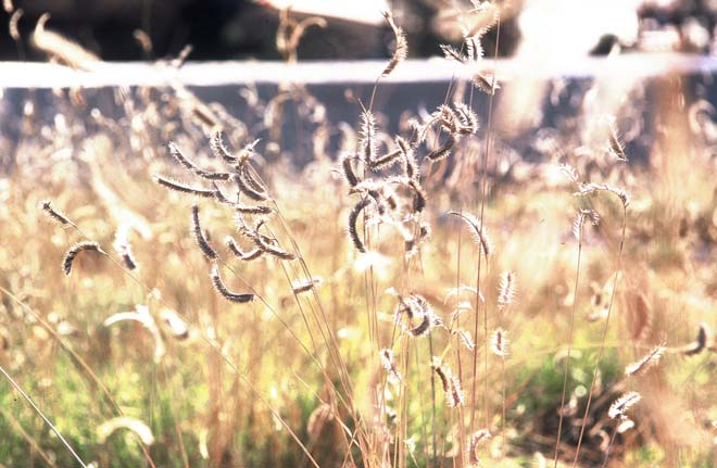 The fanciful seedheads of Blue Grama Grass (Chondrosum gracile) wink in the light. Photo: Lisa Lee Benjamin