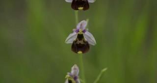 Ophrys holoserica Photo: Rafael Schneider