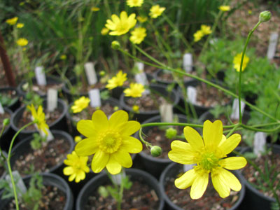 California Buttercup (Ranunculus californicus) Photo: Toni Gregorio-Bunch