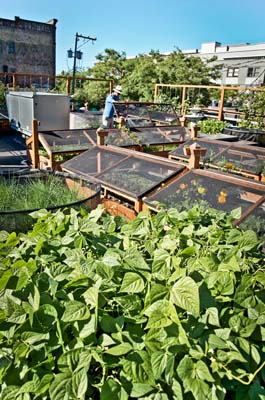 A rooftop farm atop Bastile Cafe and Bar is managed by Seattle Urban Farm Company. Photo: Hilary Dahl