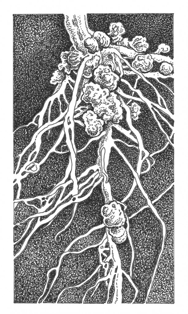 Root nodules on legume. Illus: Craig Latker