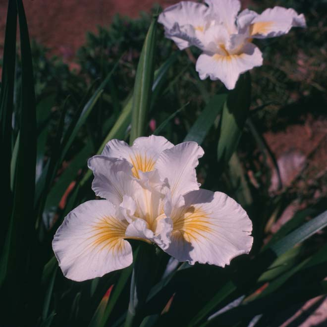 'Canyon Snow': white flowers with a gold blotch on falls. Photo: Richard C. Richards