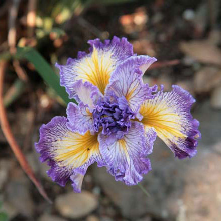 'Curlique': ruffly, wide purple and white petals with a yellow signal and streak. Photo: Ken Walker