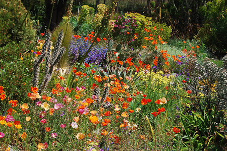 'Thai Silk' seedlings of California poppies continue their show into June along with penstemon, opuntia, and euphorbia. Photo: courtesy of Northwest Garden Nursery