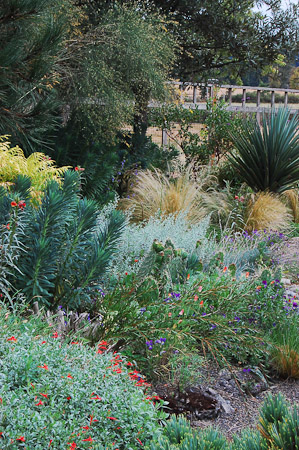 Zauschneria californica, Euphorbia characias, Opuntia, Stipa tenuissima, Yucca ×schottii at the end of August. Photo: courtesy of Northwest Garden Nursery