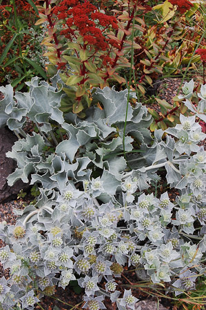 Eryngium maritimum, sedum seedling in early Fall. Photo: courtesy of Northwest Garden Nursery
