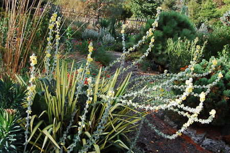 Verbascum bombyciferum 'Arctic Summer', and Yucca filamentosa. Photo: courtesy of Northwest Garden Nursery
