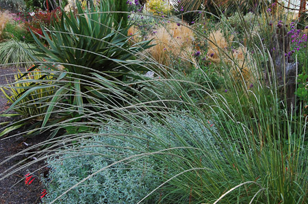 Muhlenbergia rigens, Stipa tenuissima, Zauschneria californica, Yucca recurvifolia and Y. filamentosa in September. Photo: courtesy of Northwest Garden Nursery