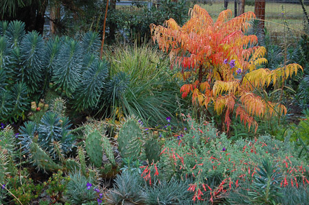 October in the chaparral garden with Rhus typhina 'Tiger Eyes', Zauschneria californica, Opuntia polyacantha ×macrorhiza, and Euphorbia characias. Photo: courtesy of Northwest Garden Nursery