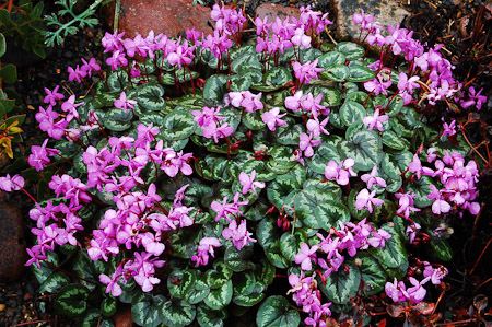 Cyclamen coum Photo: courtesy of Northwest Garden Nursery