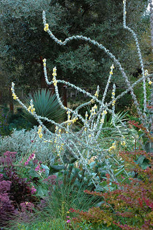 Verbascum bombyciferum 'Arctic Summer', Berberis thunbergii 'Tangelo', sedum seedling, Yucca ×schottii, Brachyglottis greyi in August. Photo: courtesy of Northwest Garden Nursery