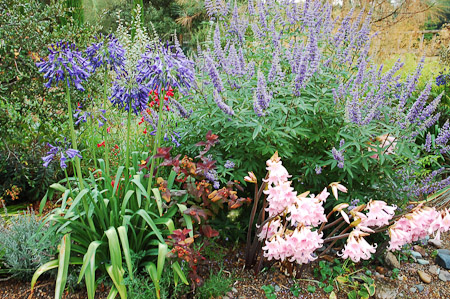 Agapanthus 'Storm Cloud', Amaryllis belladona, and Vitex agnus-castus. Photo: courtesy of Northwest Garden Nursery