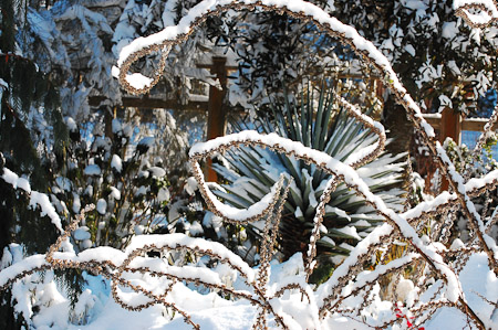 Verbascum bombyciferum 'Arctic Summer', Yucca ×schottii in the snow. Photo: courtesy of Northwest Garden Nursery