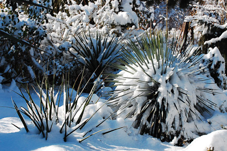 Yucca rostrata 'Sapphire Skies' in winter. Photo: courtesy of Northwest Garden Nursery