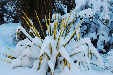 The chaparral garden beneath a blanket of snow. Photo: courtesy of Northwest Garden Nursery