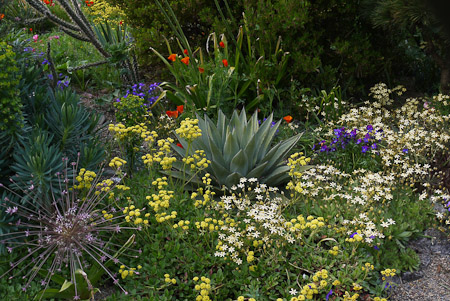 A constellation of Agave parryi, Triteleia ixioides 'Starlight', Eriogonum umbellatum, and Allium schubertii in May. Photo: courtesy of Northwest Garden Nursery