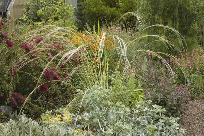 This densely planted portion of the chaparral garden includes, from front to back, Eryngium maritimum, Callistemon pallidus 'Eleanor', Asclepias tuberosa, and Pinus patula. Photo: Mark Turner