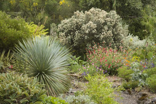 Contrasting evergreen Helleborus ×sternii, Yucca rostrata 'Sapphire Skies'. and Ozothamnus rosmarinifolius 'Silver Jubilee' lend year-round structure to the landscape. Photo: Mark Turner