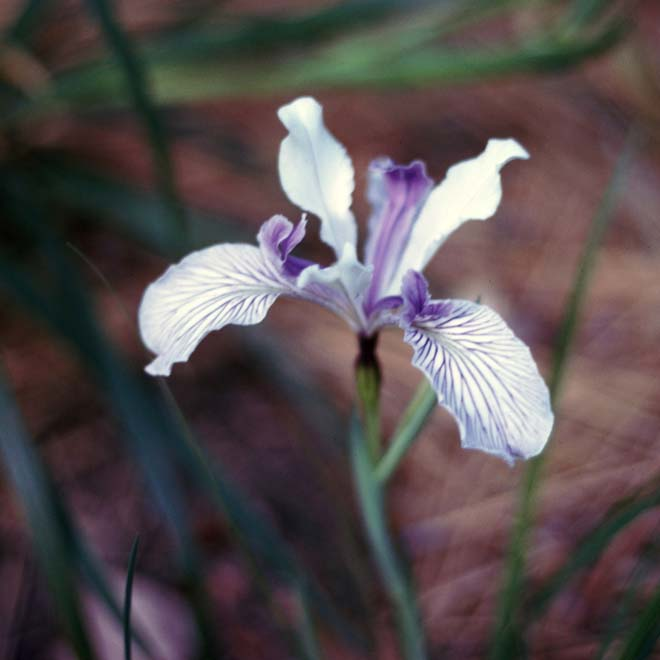 'Valley Banner': white with dense purple veins on falls, white standards, and purple style arms. Photo: Richard C. Richards