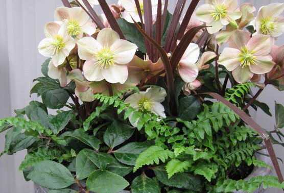 Helleborus ×ballardiae 'HGC Cinnamon Snow' is another early bloomer with creamy flowers beginning in December and continuing through February. Blossoms age to a dusky rose and hold well on the plant for months of continued interest. Photo: courtesy of Skagit Gardens.
