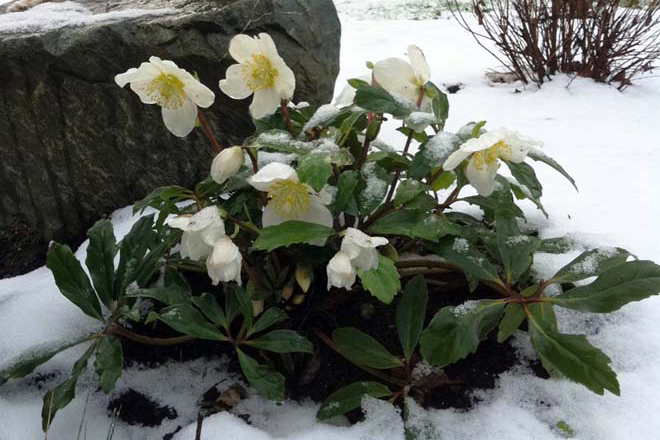Helleborus niger 'HGC Jacob' is a sparkly star of the winter garden and stalwart evergreen groundcover for the shade garden throughout the remaining months of the year. Photo: courtesy of Skagit Gardens