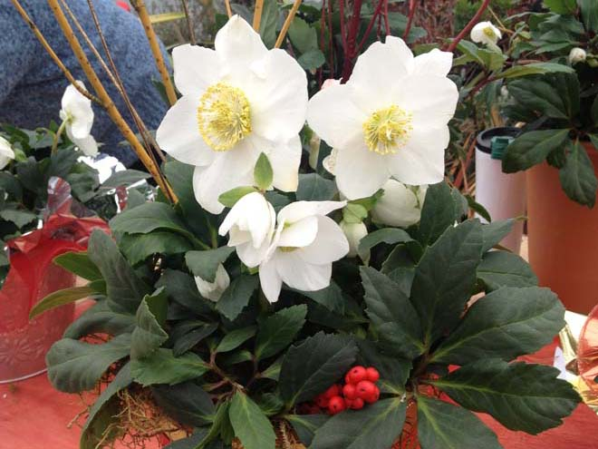 Helleborus niger 'HGC Jacob'. Photo: courtesy of Skagit Gardens