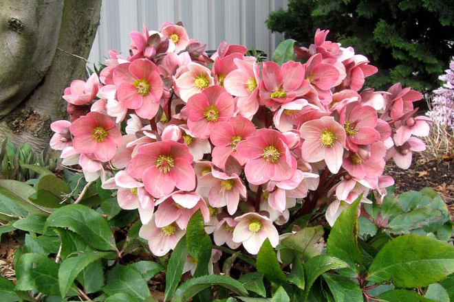 Helleborus ×ballardiae 'HGC Pink Frost' has burgundy and white buds that open to soft pink blossoms offering a spectrum of color from mid January through March. Photo: courtesy of Skagit Gardens