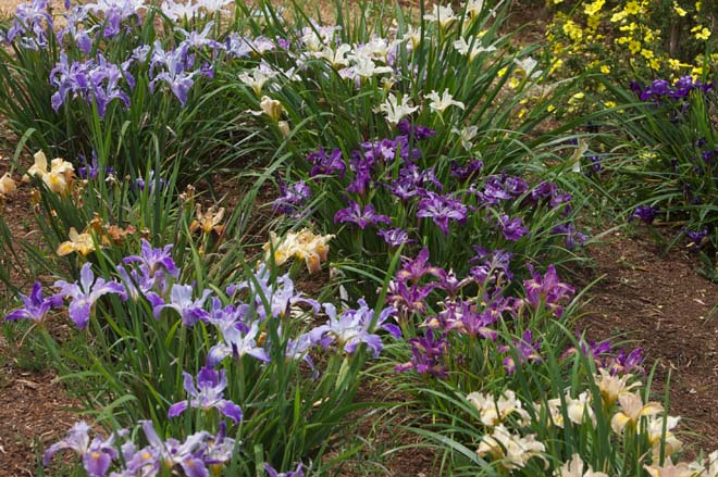 A rainbow of blossoming Pacific Coast iris in spring. Photo: courtesy of Wild Ginger Farm