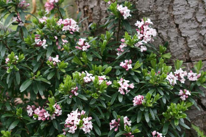 Daphne ×transatlantica 'Eternal Fragrance' is prized for its heavenly scented  spring blossoms. Photo: Richie Steffen, Great Plant Picks