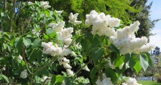 The snow white blossoms of Syringa vulgaris 'Madame Lemoine'. Photo: Forrest Campbell