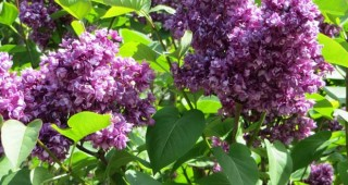 Syringa vulgaris 'My Favorite'. Photo: Forrest Campbell