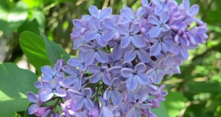 Syringa vulgaris 'President Lincoln'. Photo: Forrest Campbell