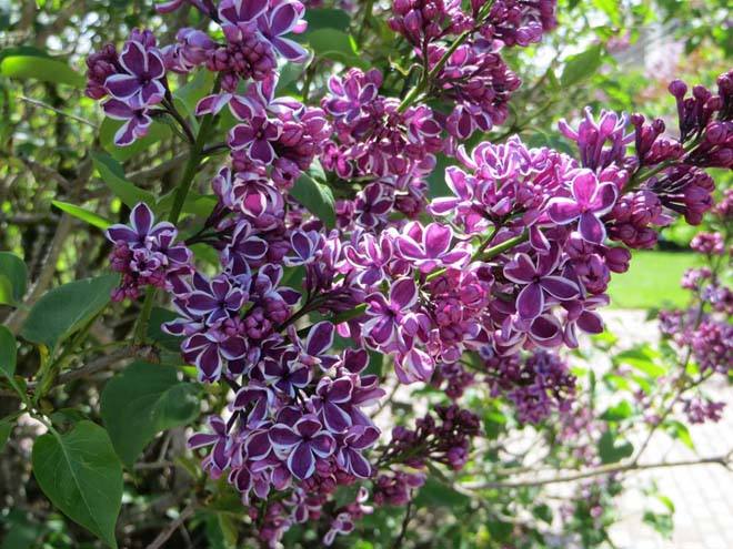 The uniquely bicolored and showy lilac 'Sensation'. Photo: Forrest Campbell