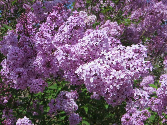 Syringa xchinensis 'Lilac Sunday'. Photo: Forrest Campbell