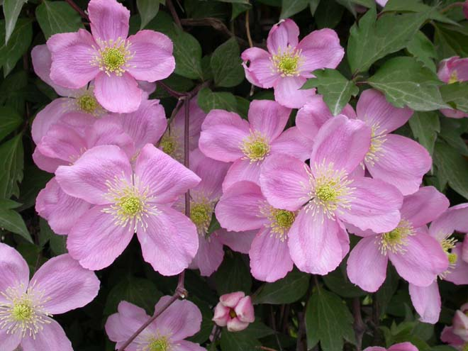 Large, blowsy blooms of Clematis montana var. rubens 'Tetrarose'. Photo: T&L Nursery