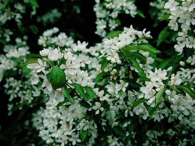 Malus 'Sugar Tyme' is smothered with pink buds that open to fragrant white flowers in spring. Photo: Great Plant Picks