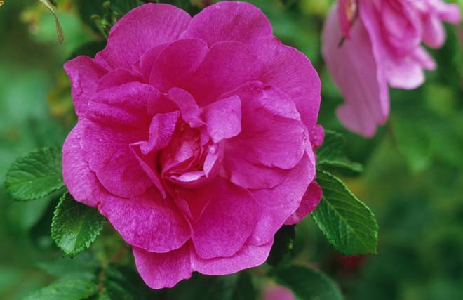 Rosa 'Hansa' Photo: Richie Steffen, Great Plant Picks