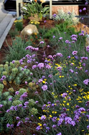 Delicate purple flowers atop the rectangular stems of Verbena bonariensis tower above yellow flowering Achillea varieties below. Photo: Robert Nieto